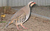 Chukar Partridge are unique birds which can only be hunted in select locations, that's what makes this such an exciting bird hunt.