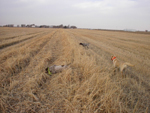 Three of Golden Prairie's hunting dogs pointing, ready for the pheasants to fly.