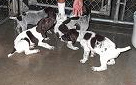 Golden Prairie Hunting Services raise and train German Shorthairs to become excellent hunting dogs.
